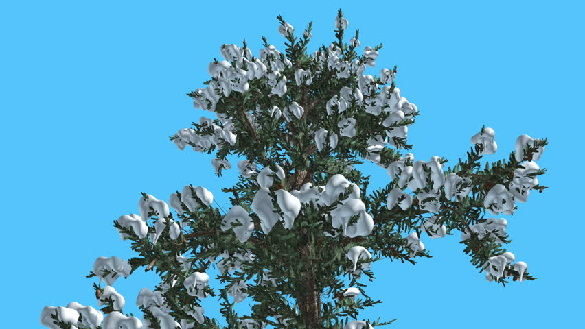 White fir two thin firs snow on a branches tree on chroma key white fir top of tree covered with snow on chroma key alfa blue sciox Gallery