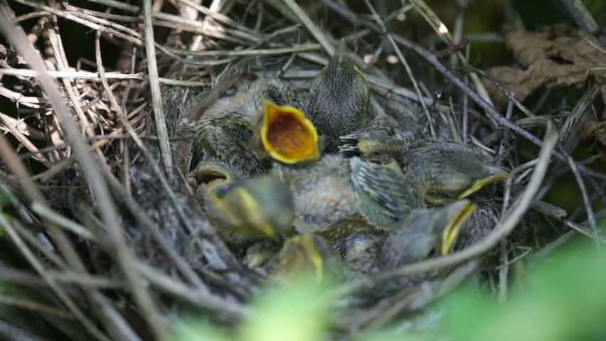 The bird feeds baby birds