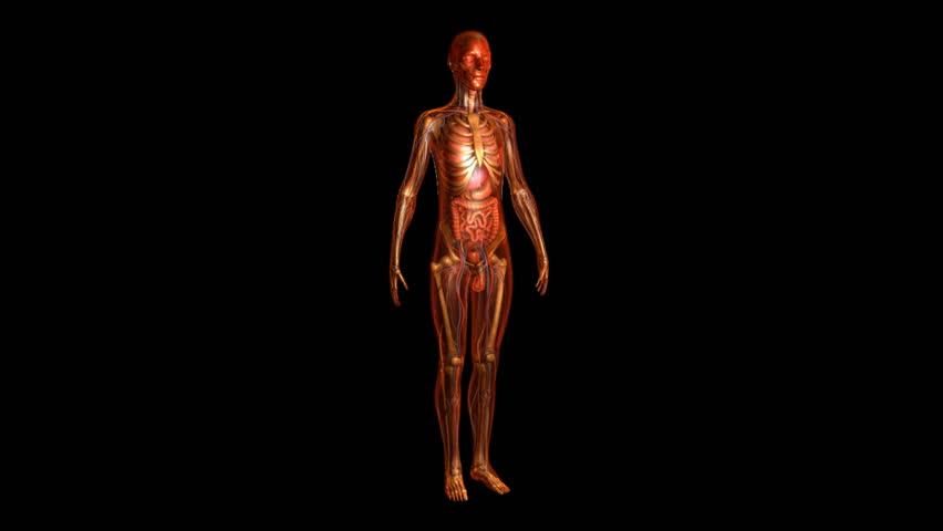 Human Anatomy Royalty Free Video