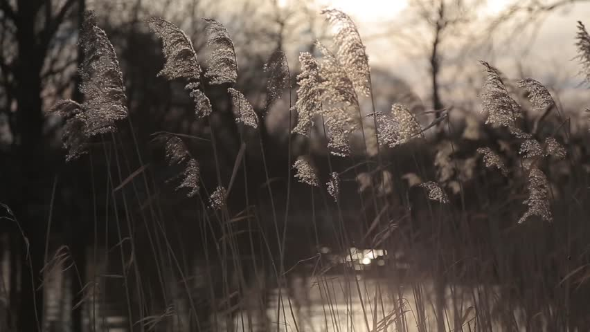 Reed (Phragmites australis) swaying in the wind before sunset. Shot intentionally out of focus