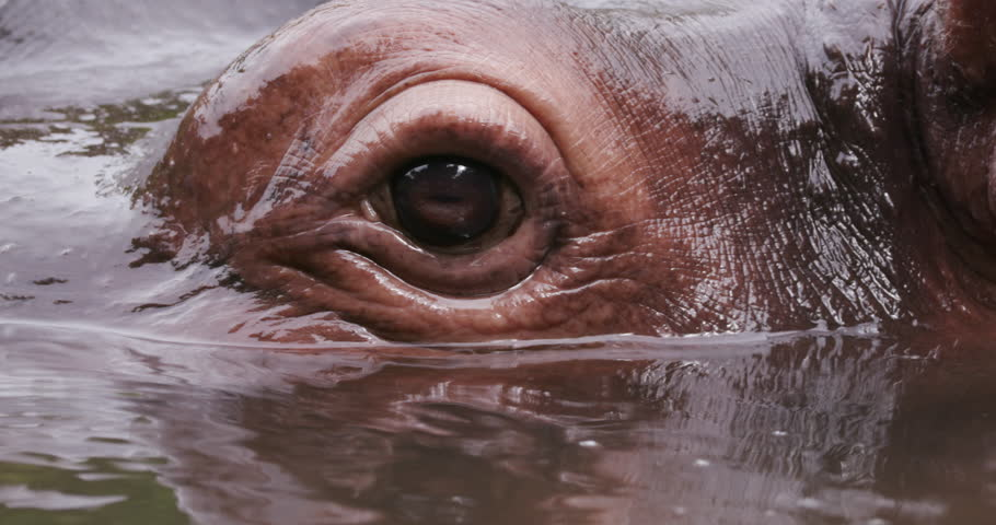 Close-up of hippo's eye - South Africa, Oct. 2015