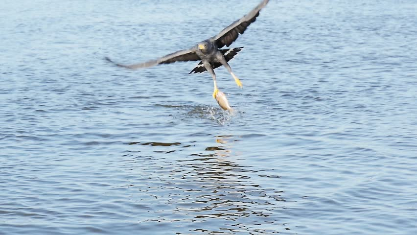 hawk swooping down and catching a fish out of water slow motion rio lagartos lagoon mexico