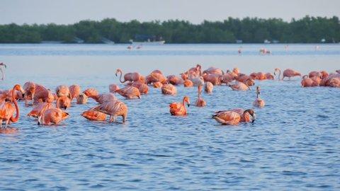 flock group of pink flamingos standing feeding into water at rio lagartos mexico