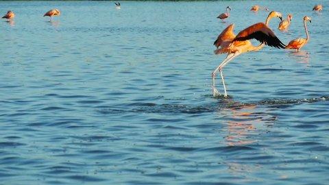 pink flamingos walk on water surface into a salt lagoon at rio lagartos mexico slow motion