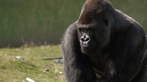 Portrait of LARGE Silverback Gorilla eating nuts. Lowland Gorilla, (Gorilla gorilla), forages for nuts before walking out of shot.