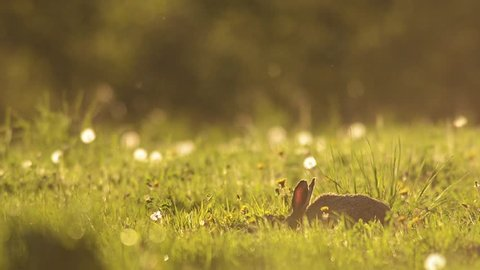 Cute Brown Hare funny eating plants in the natural environment at the evening sun.