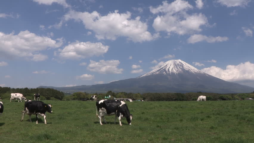 Cows and Mt.Fuji. cows on a farmland, japan - HD stock footage clip