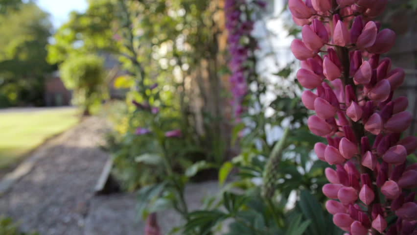 Lupines and Foxgloves in an English Garden