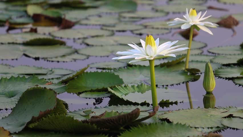 Royalty Free White Lotus Blossom Or Water Lily Flower Blooming