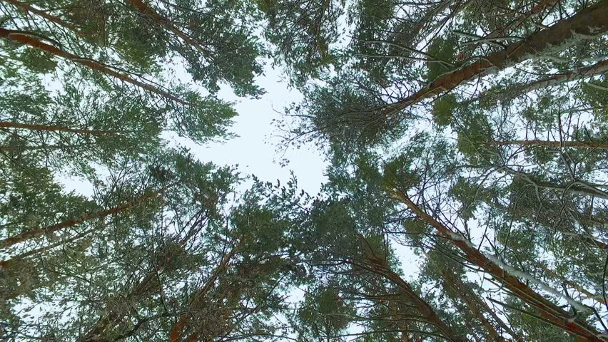 Walking through Siberian winter pine forest looking up to the dull cloudy sky
