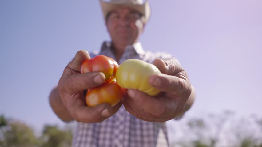 Farming and cultivations in Latin America. Portrait of middle aged farmer in tomato field, showing vegetables to the camera. The man stands proud and smiles. Low angle shot.  | Shutterstock HD Video #15478102