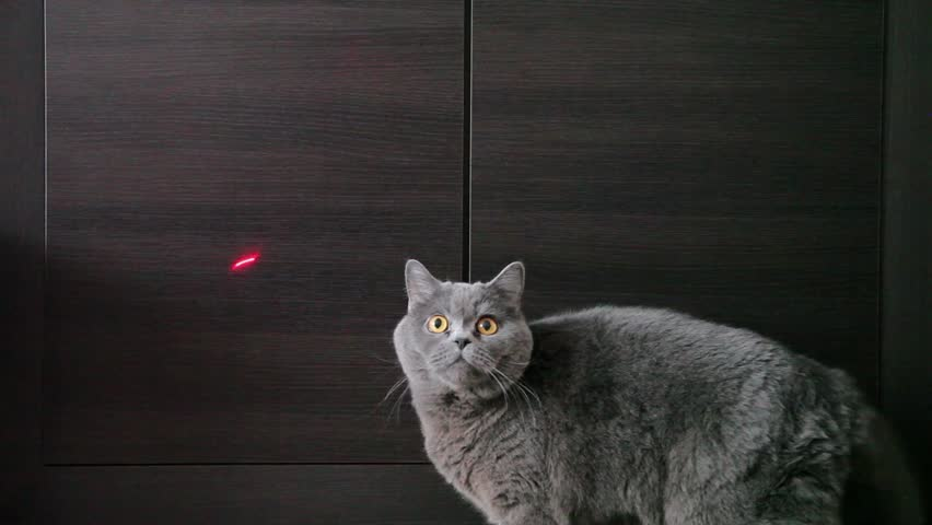 British Cat Playing With Red Dot And Washes. Wood Background. #15507571