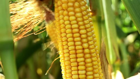Spadices of sweet corn