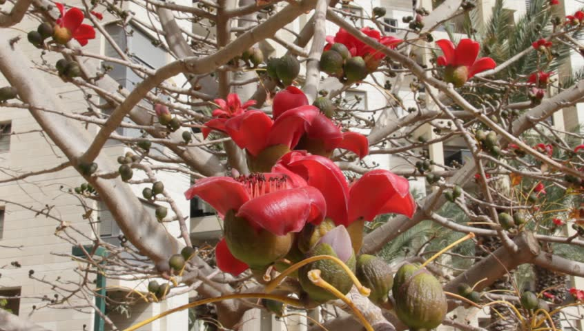 Bombax. Blossoms of the Red Silk Cotton Tree