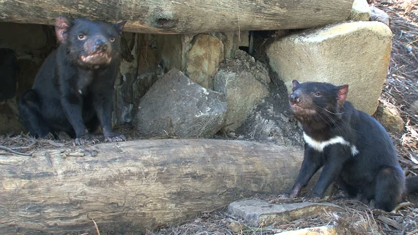 Tasmanian Devil in wildlife park.