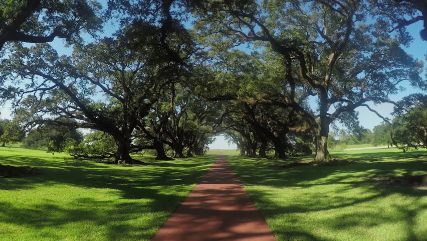SLOW MOTION CLOSE UP: Big majestic live oaks covered in spanish moss tree promenade on a beautiful sunny day in summer