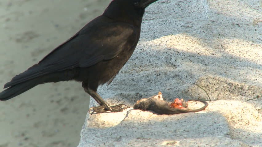 crow tearing apart and eating dead mouse