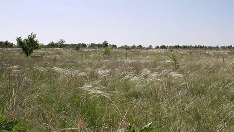 The stipa (feather grass) waving in the wild Ukrainian steppe. The stipa (needle grass) in the windy steppe.