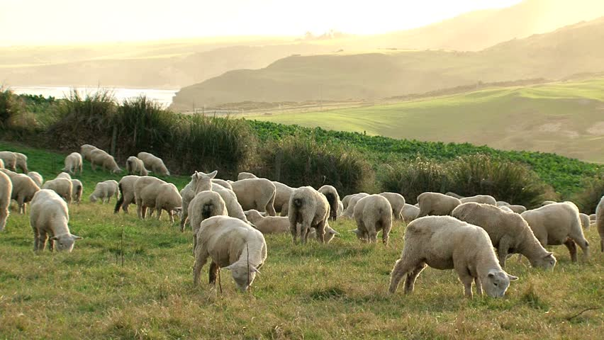 "Sheeps in ""New Zealand"