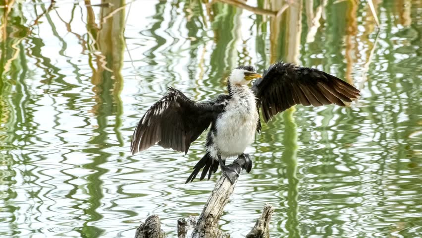 Closeup of little pied cormorant with wet feathers drying its spread out wings perched upon driftwood, 4K 30p