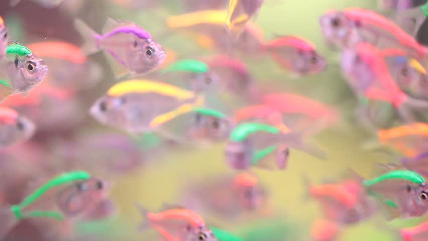 Neon Tetra Paracheirodon Innesi Freshwater Stock Footage Video 100
