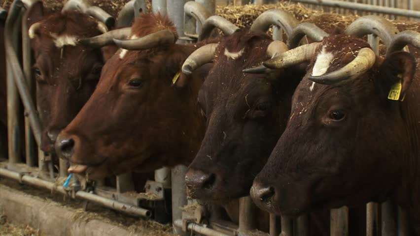 Dutch Deep Red cattle in a deep litter cowshed with headlocks , feeding on hay. A deep litter barn is an animal housing system, based on the repeated spreading of straw or sawdust material indoor.