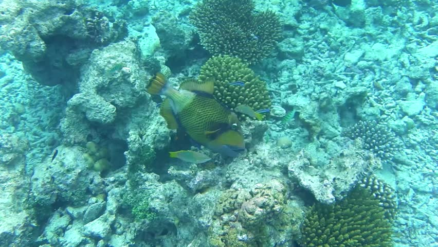 a titan triggerfish swims in a coral reef #15821701