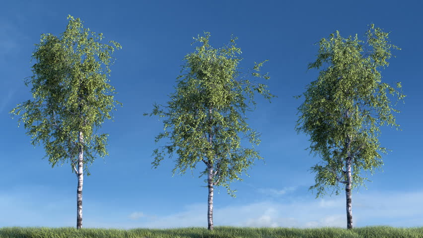 Growing birch trees against sky (with alpha matte, cg animation, full hd)  #15849721