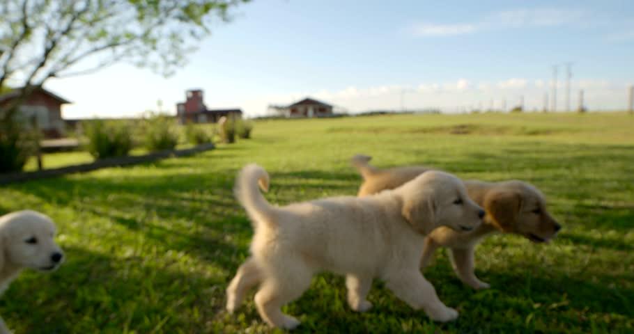 Puppies on field Dog Golden   Shutterstock HD Video #15871261