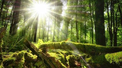 Enchanting sun rays beautifully illuminating a beech forest in vivid shades of fresh green at spring, slow motorized dolly shot