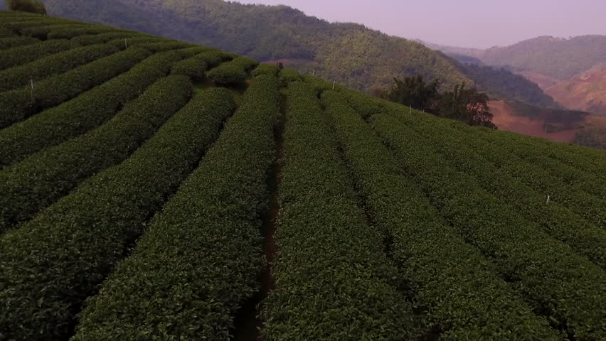 Aerial shooting from radio controlled drone of a tea plantations in Asia. Green fields with coffee beans on the hillside in sunny summer day in Thailand | Shutterstock HD Video #15942346