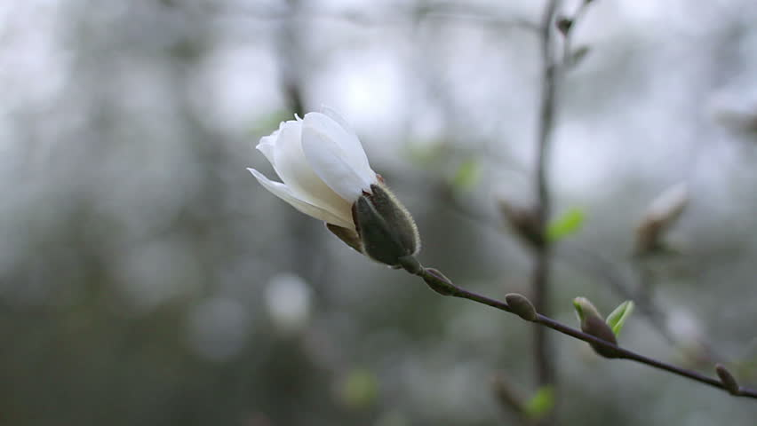 Flowers Of White Magnolia White Stock Footage Video 100 Royalty