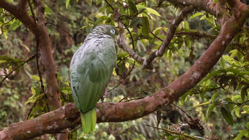 Header of Amazona farinosa