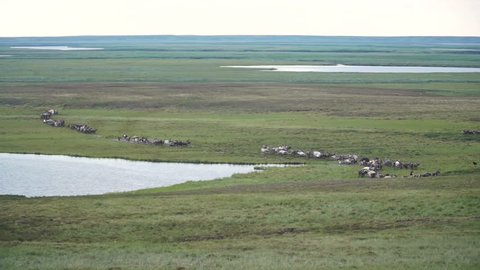 Reindeer caravan goes on the tundra. The Yamal Peninsula.