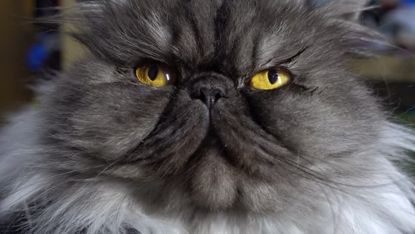 close up of cute fluffy kitten, beautiful Persian grey cat, exotic cat seeing camera