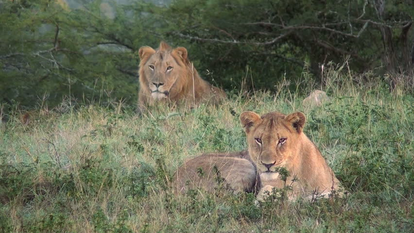 Male & female lions in the wild