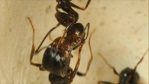 Large and small ants clean each other ant farm