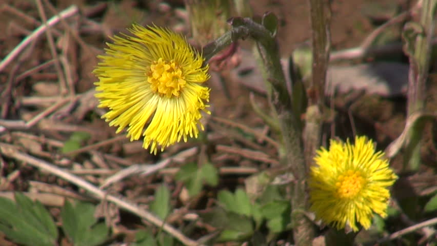 Yellow Flowers Of Coltsfoot In Stock Footage Video 100 Royalty