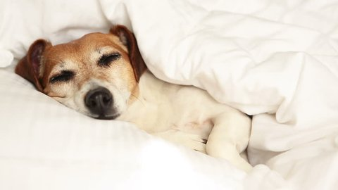 Cool relaxed dog napping. Struggling sleep. White sunny morning. pampered Pet. Video footage