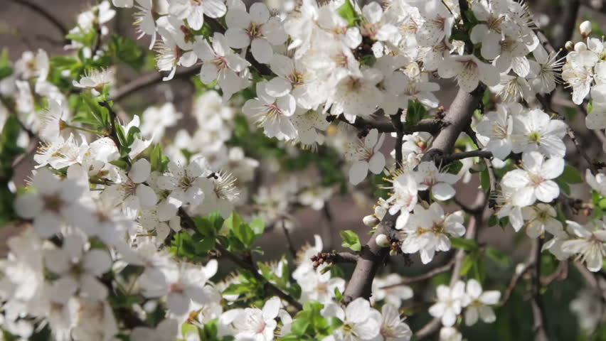 Stock video of spring apple trees in bloom white 21362260 visually similar footage mightylinksfo
