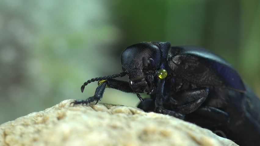 Big black bug insect  American Oil Beetles are type of Blister beetle   macro. Big Black Bug Insect  American Oil Beetles Are Type Of Blister