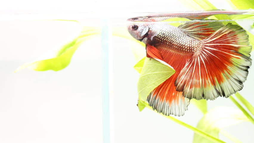 Red Betta fish, siamese fighting fish  in nature background | Shutterstock HD Video #16200901