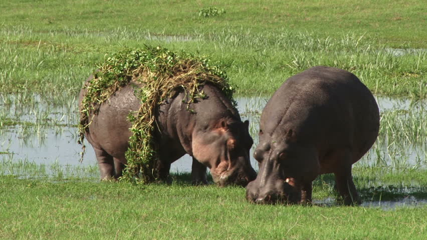 Two hippos grazing in a swamp.