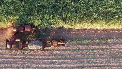 Sugar cane aerial video - Mechanical harvesting sugar cane field in Sao Paulo Brazil at sunset - Aerial travelling with drone following combine harvesting sugar cane field at sunset