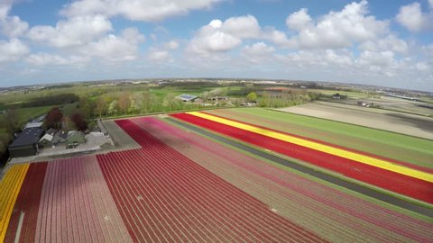 Aerial drone flying over tulip fields near Lisse Keukenhof beautiful colorful flower tulip fields revealing bright colors of red yellow and pink flowers tulips mill blades moving slowly by wind 4k