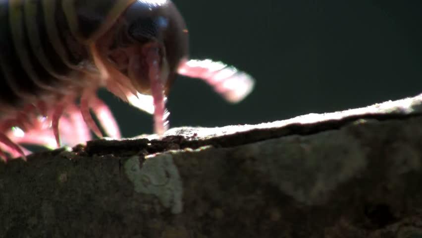 centipede crawling on a twig