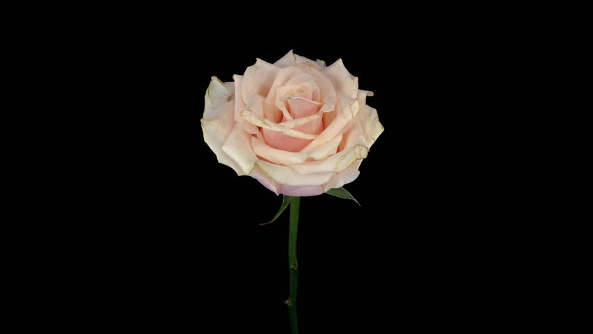 Time-lapse of dying bone pink Talea rose 1a4 in 4K PNG+ format with ALPHA transparency channel isolated on black background