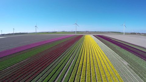 Aerial flying forwards over colorful tulip fields pink green yellow and white colors also showing wind turbines providing renewable energy to homes beautiful polder landscape during springtime 4k