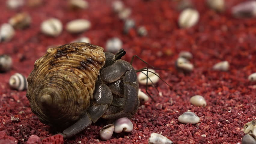 land hermit crab crawls from its shell