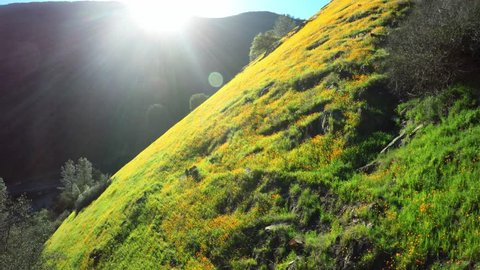 California Poppies on green hillside with beautiful light, drone footage video flying on green hillside. Merced River Canyon. 4K Video. Glide cam over flowers.
